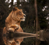 Photo Stunning lioness relaxing on a warm day reflection in water