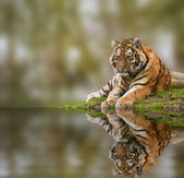 Fotografie Beauttiful image of lovely tiger cub relaxing on grassy mound re