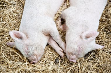 Pair of young piglets sleeping in straw in farmyard