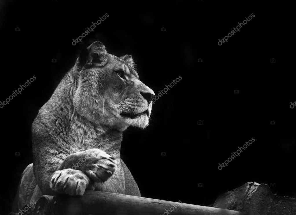 Stunning lioness relaxing on a warm day in black and white