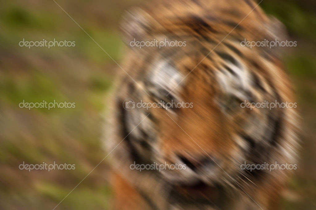 Artistically blurred image of tiger running towards camera and m