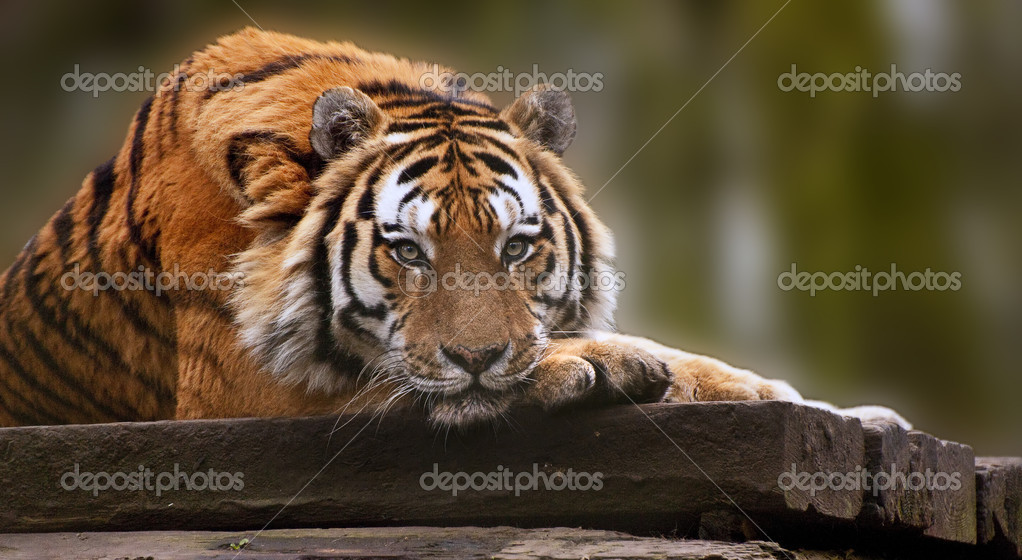 Beautiful heartwarming image of tiger laying with head on paws