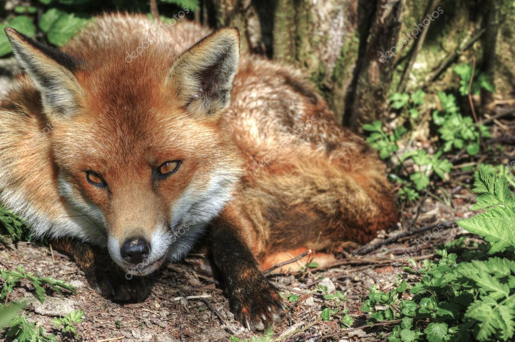 Superb natural close up of red fox in natural habitat