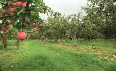 Lovely apple orchard in Autumn Fall with ripe fruit