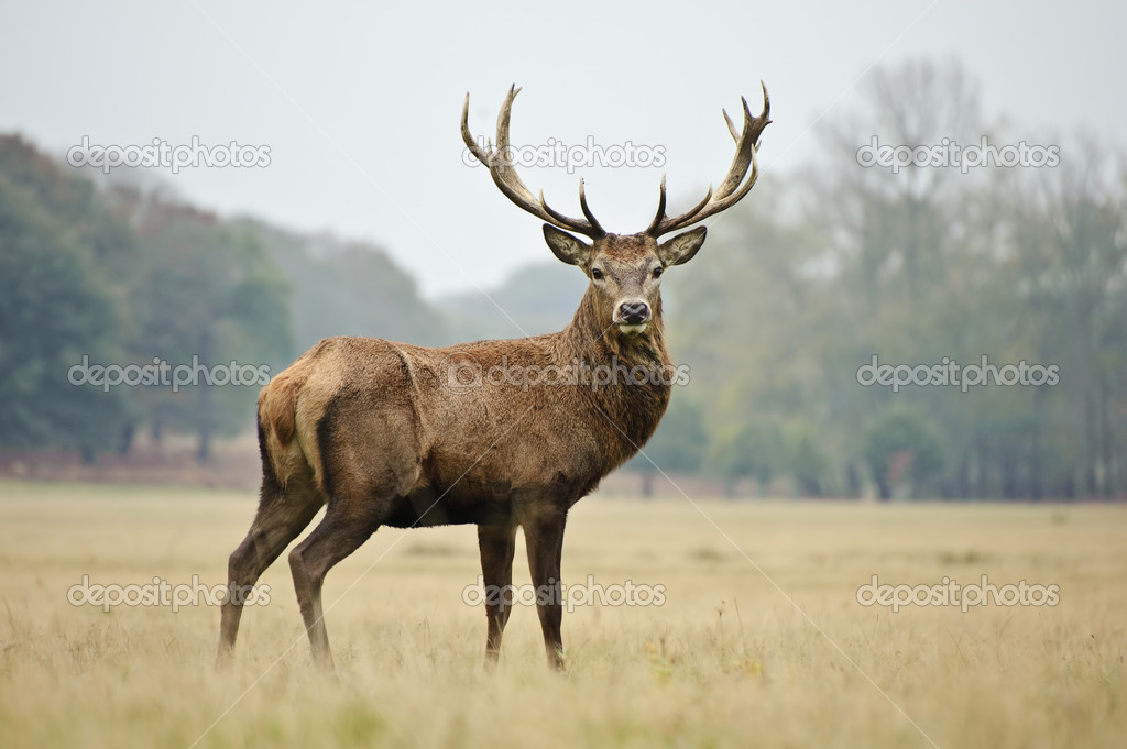 Portrait of majestic red deer stag in Autumn Fall