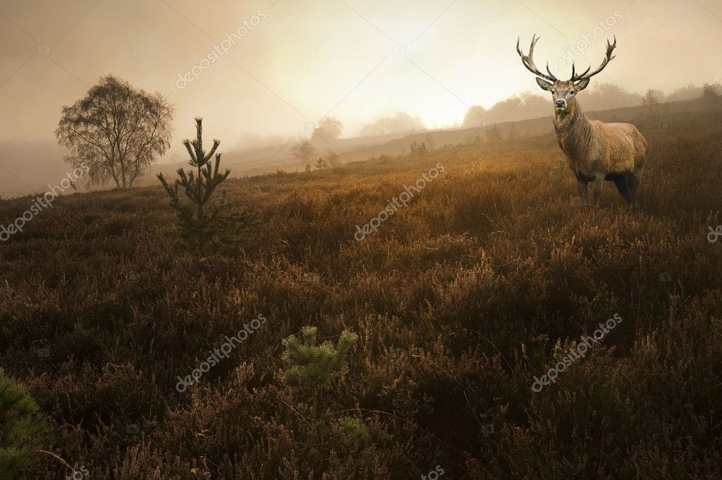 Фотообои Foggy misty Autumn forest landscape at dawn with red deer stag