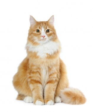 Lovely cat sits isolated on white