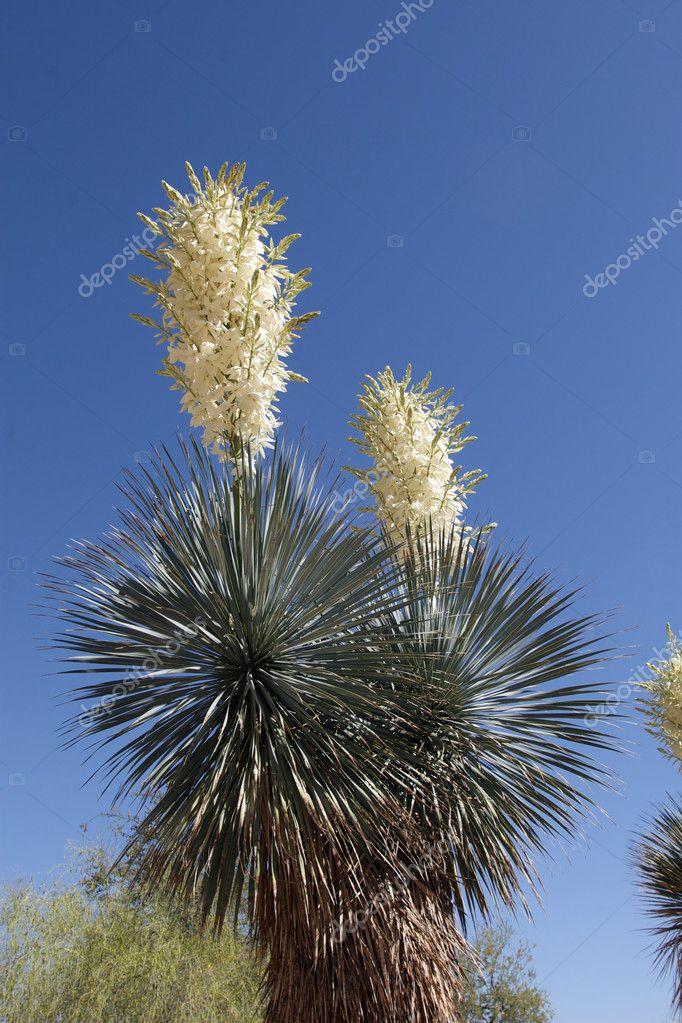 Yucca Plante En Fleur Photographie Twildlife C 7666177