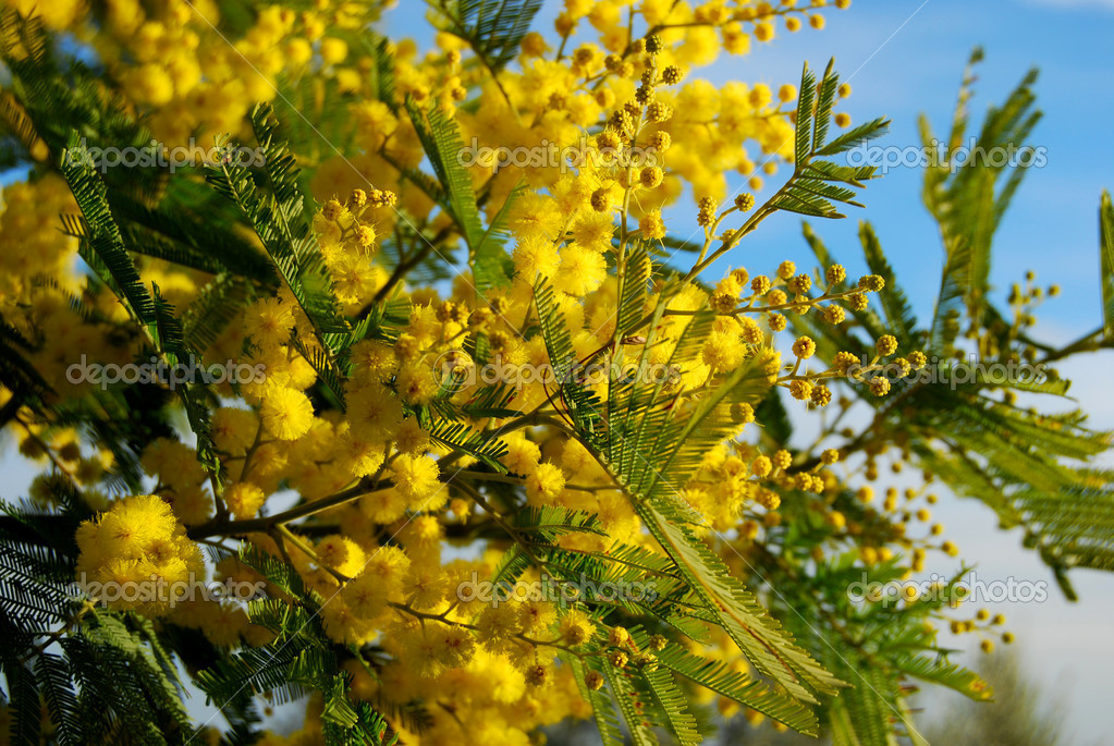 Mimosa Branch