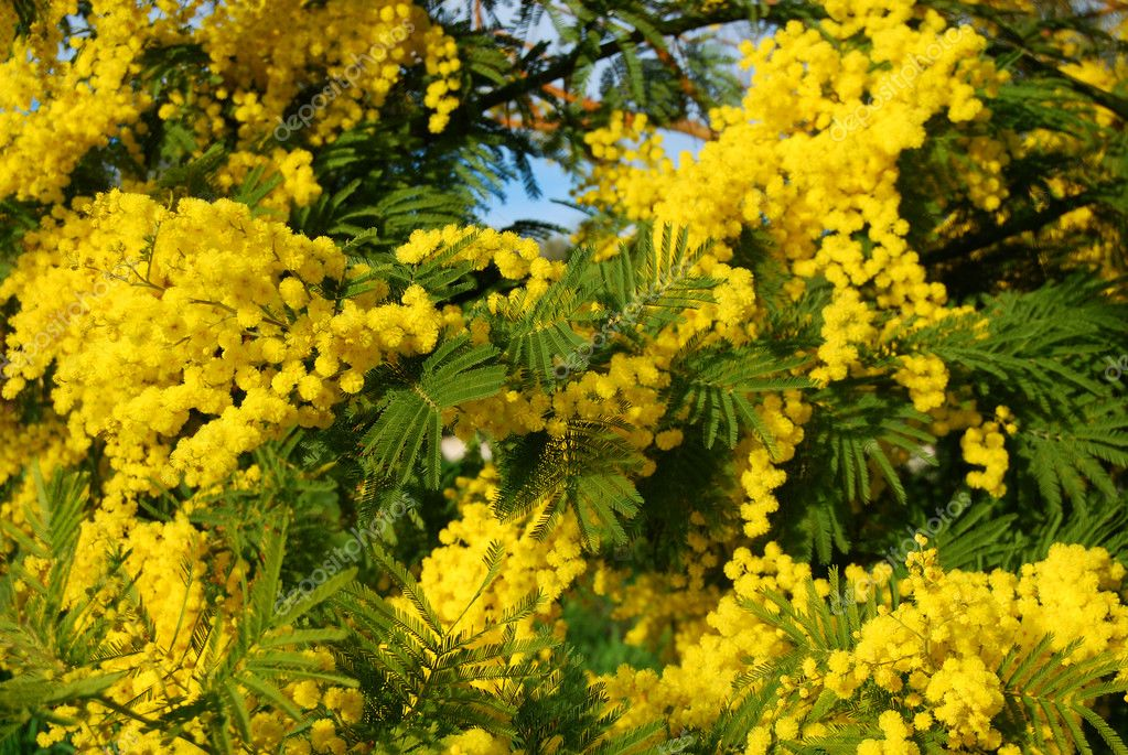 Mimosa - A branch of mimosa for Women's Day