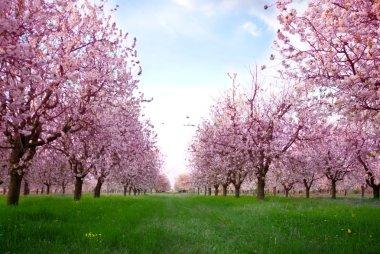 Spring blooming cherry flowers