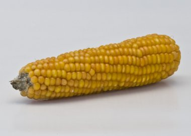A corn ready for the popcorn