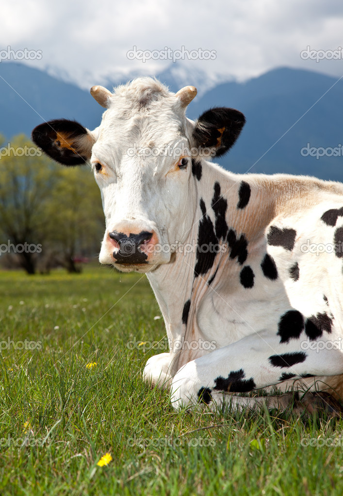 Spotted cow lying on meadow