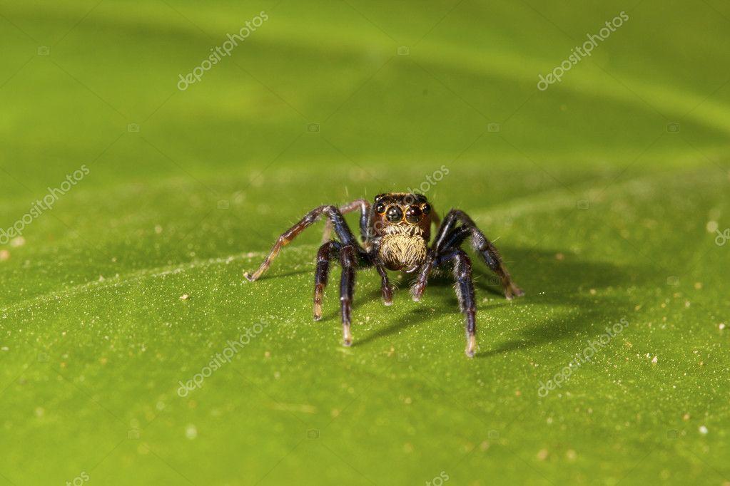 Jumping spider