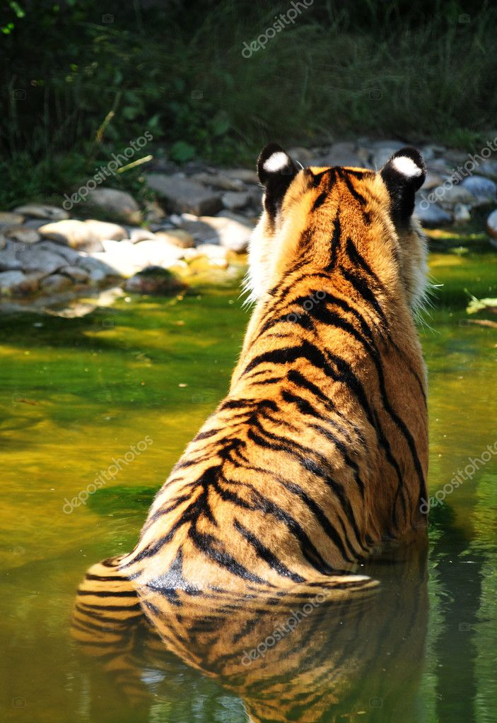 Back view of a tiger in water