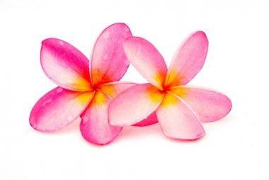 Beautiful pink Frangipani plumeria flowers