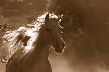 White wild horse