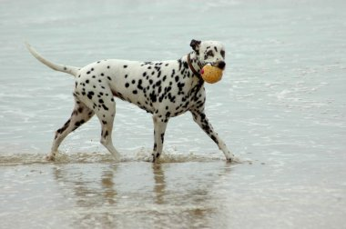 A black and white Dalmatian dog running and playing with a ball in the sea on the beach stock vector