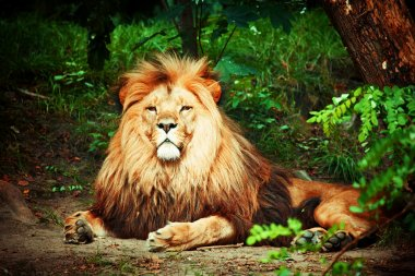 Magnificent lion