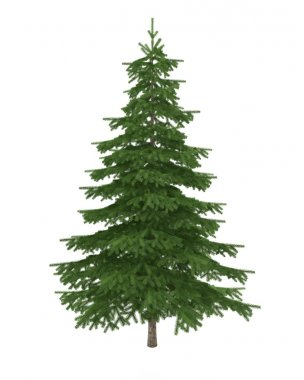 Pine fir tree isolated on white background