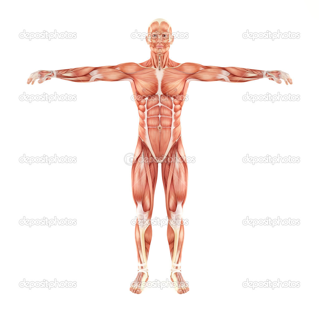 Man muscles anatomy isolated on white background — Stock Photo ...