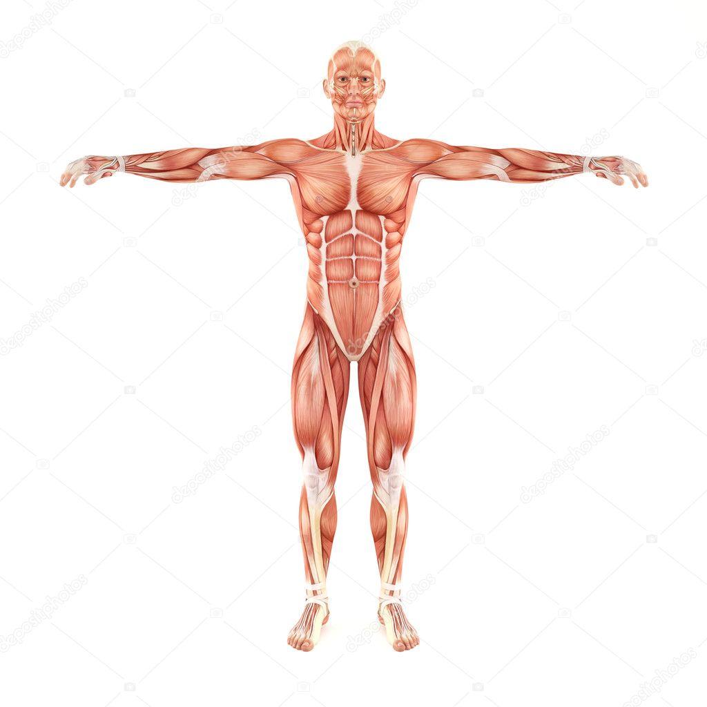 man spieren anatomie geïsoleerd op witte achtergrond — Stockfoto ...