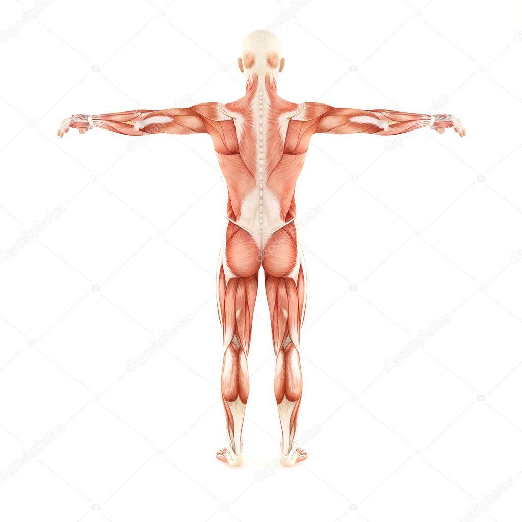 Mann Muskeln Anatomie isoliert auf weißem Hintergrund — Stockfoto ...
