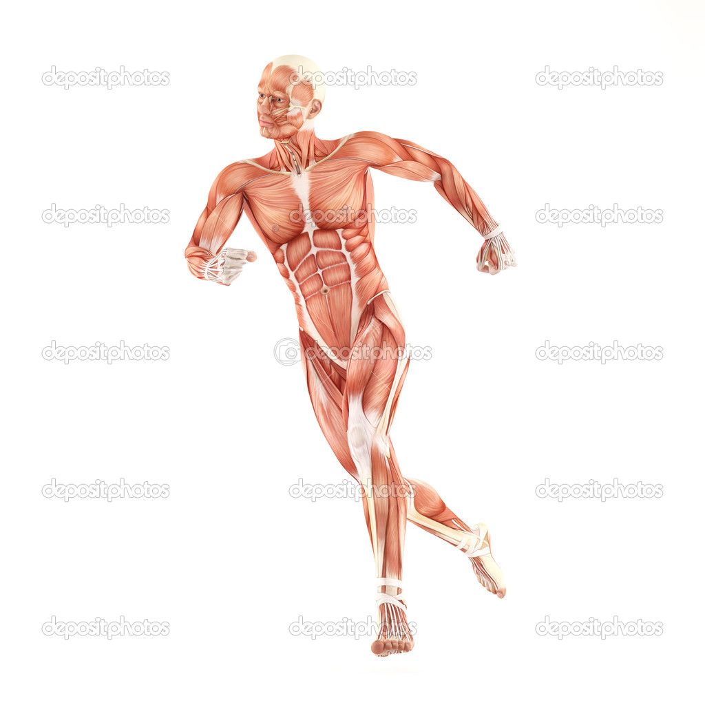 Running man muscles anatomy system isolated on white background ...