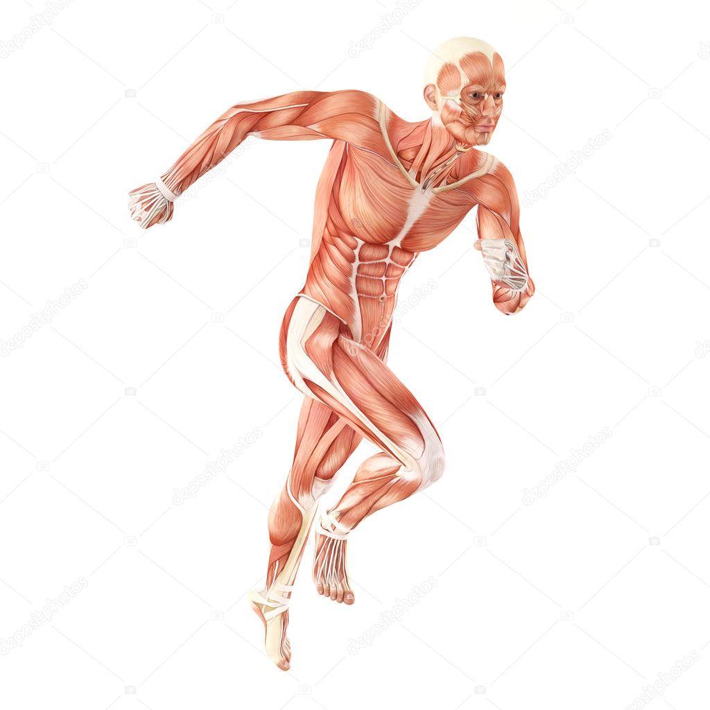 ejecuta los músculos hombre anatomía sistema aislado sobre fondo ...