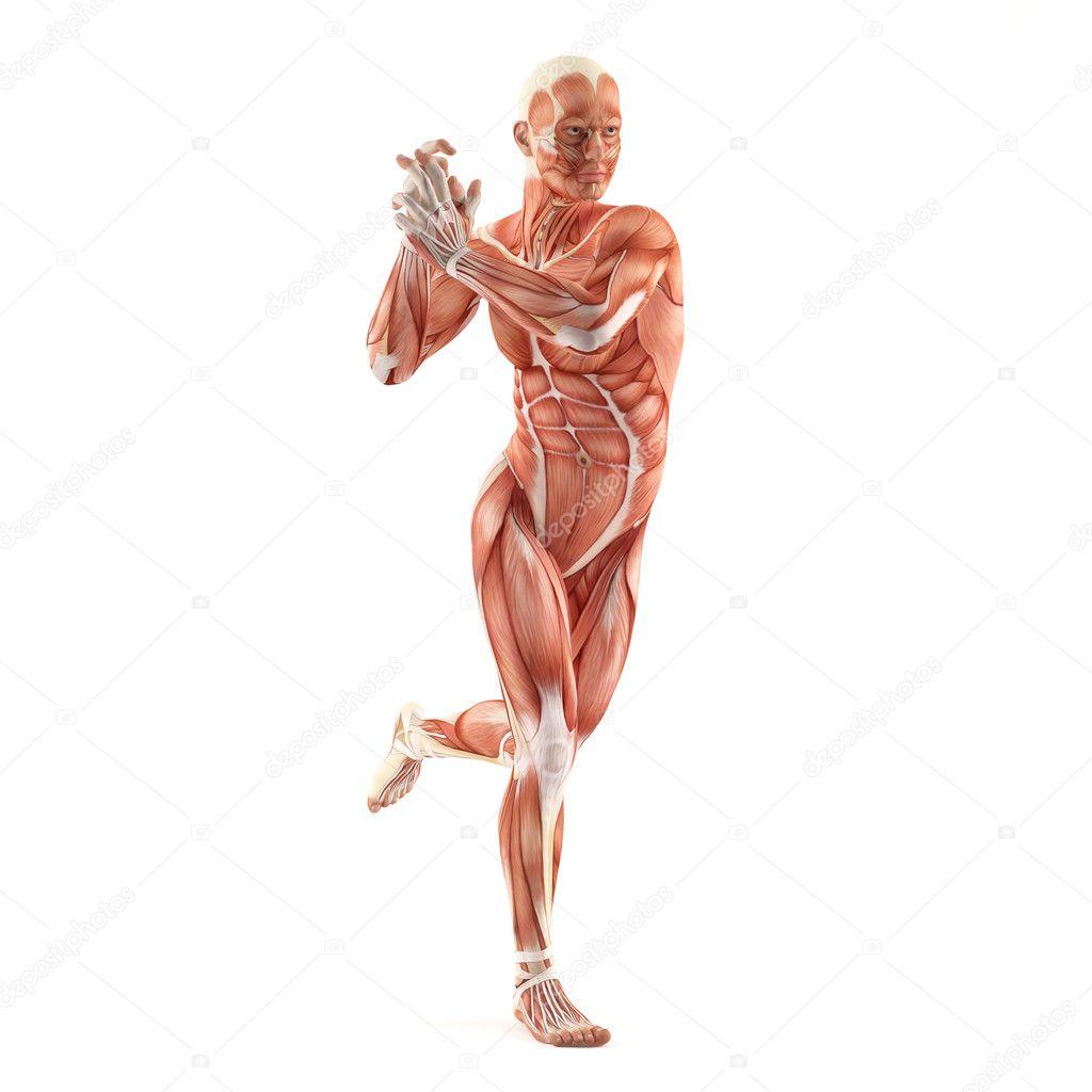 músculos anatomía sistema aislado sobre fondo blanco — Fotos de ...