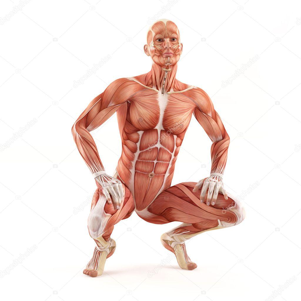 Mann Muskeln Anatomie System isoliert auf weißem Hintergrund. Pose ...