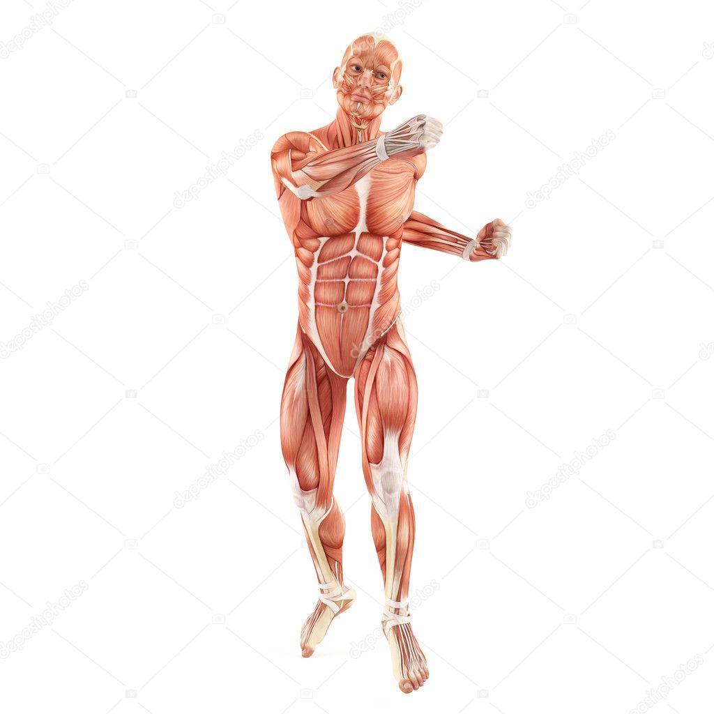 vechtsysteem man spieren anatomie geïsoleerd op witte achtergrond ...