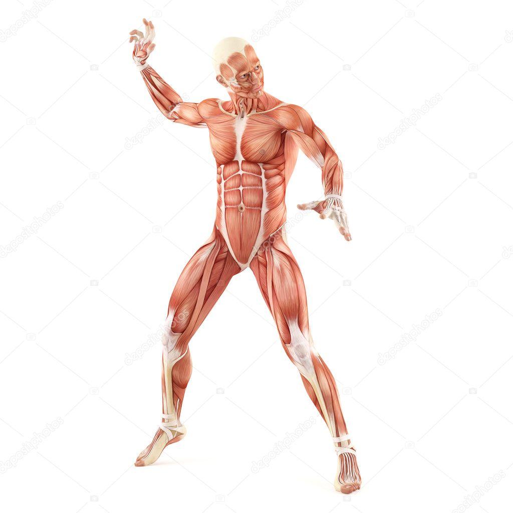 lucha contra los músculos anatomía sistema aislado sobre fondo ...