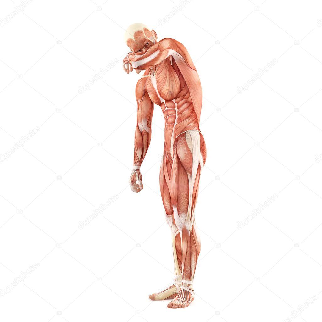 Mann Muskeln Anatomie System isoliert auf weißem Hintergrund ...