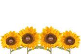 čtyři izolované legrační slunečnice