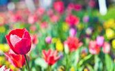 a tulipán mező