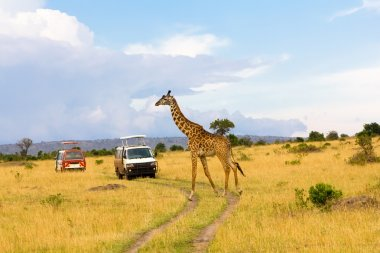 Giraffe crossing the road