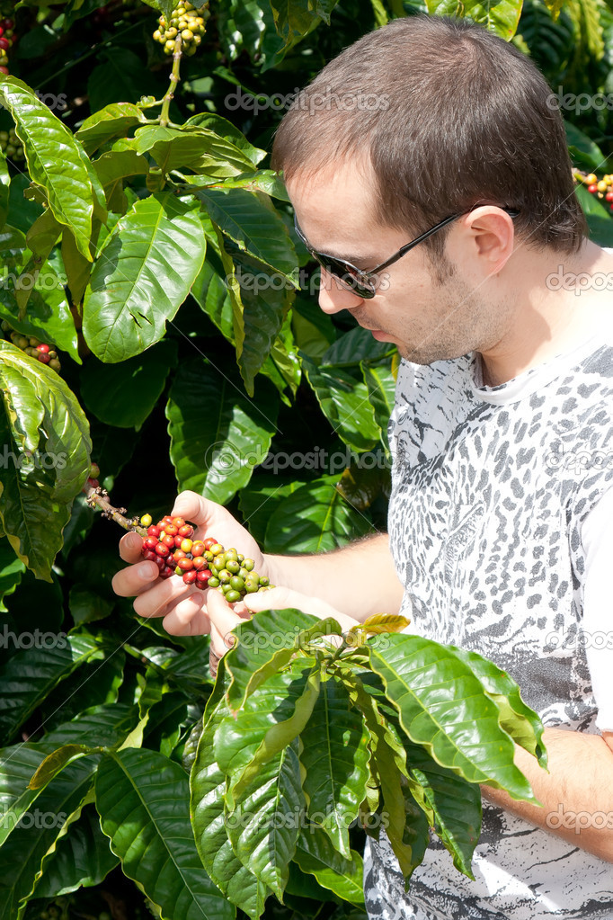 Farmer examining a mature of coffee beans