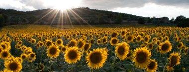 Sunflower in the light of the setting sun