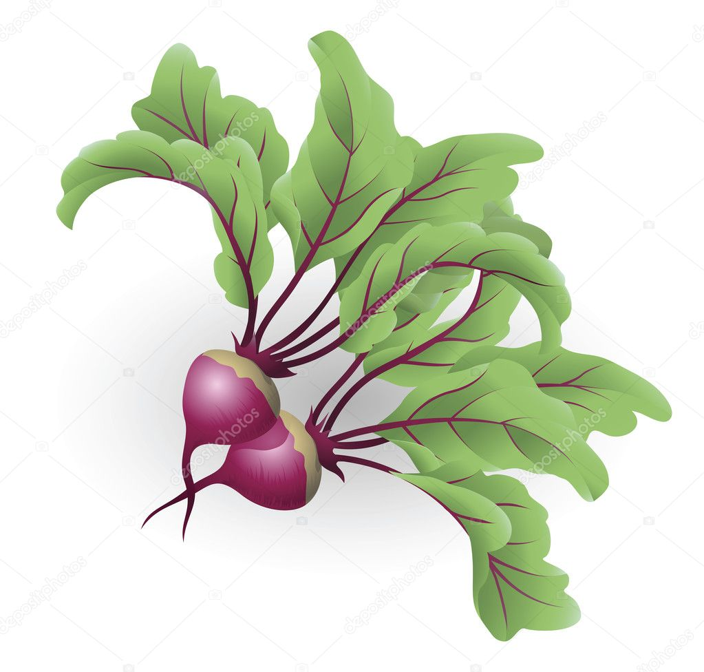 Beetroot illustration