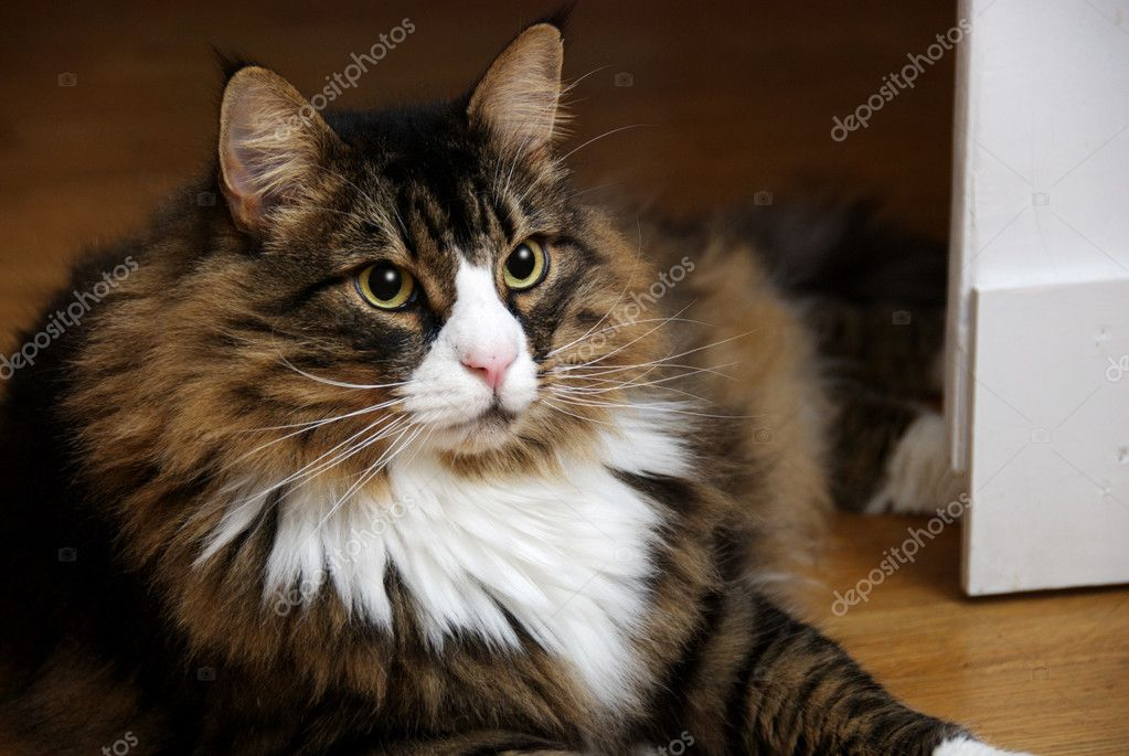 Beautiful Male Norwegian Forest Cat With Wide Eyes