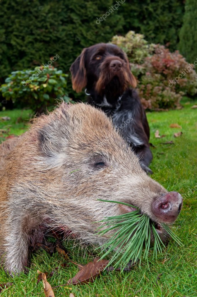 Wild Boar and Hunting Dog
