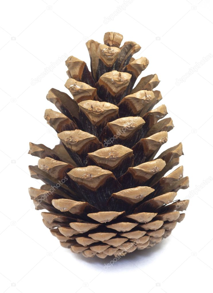 jedna kr u00e1sn u00e1 borovicov u00e1  u0161i u0161ka na b u00edl u00e9m pozad u00ed stock pine cone clip art on pinterest pine cone clip art image