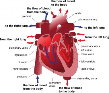 Human heart cross section. Poster