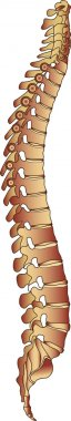 Iilustration of the human spine