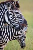 Tři zebry v savannah