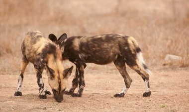 Couple of African Wild Dogs (Lycaon pictus)