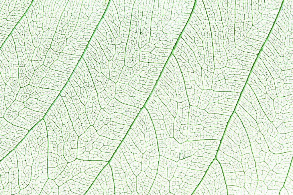 Green skeleton leaf