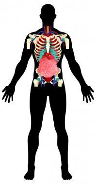 Internal Organs