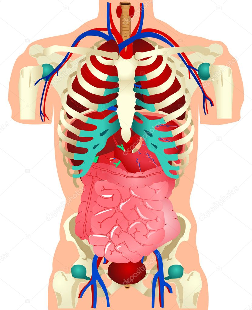 menschliche Organe — Stockvektor © rudall30 #6852456